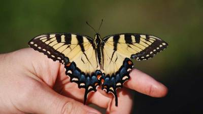 Eastern Tiger Swallowtail Butterfly Feature
