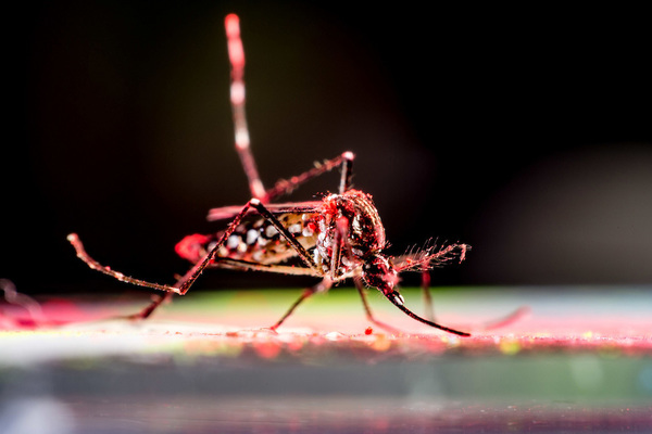 Aedes Aegypti Mosquito Feature